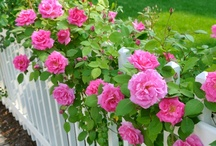 """VIDEOS: Roses / """"Gardener's Corner"""" YouTube videos produced by the University of Illinois Extension."""