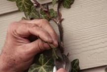 "VIDEOS: Vines / ""Gardener's Corner"" YouTube videos produced by University of Illinois Extension."