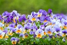 """VIDEOS: Annuals / """"Gardener's Corner"""" YouTube videos produced by University of Illinois Extension."""