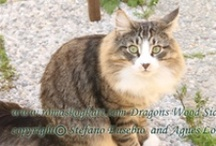 My cats - Norwegian forest cat / Dragons Wood Cattery (a micro breeding activities) in Rome suburban town. Our cats are 4 feet babies, family member. Their health and happiness are the first priority, we can give up breeding, but cannot give up our cat's well being.