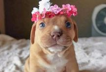 Staffy <3 / Staffordshire terrier