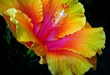 Hibiscus / The flower that is me