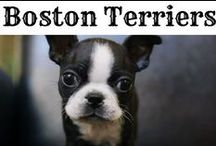 Boston Terrier Puppies!!! / Sweet pictures of Boston Terrier Puppies... so stinkin' cute! ❤❤❤  See more pictures on our Facebook page : https://www.facebook.com/BostonTerrierWorldOfficial or View ALL Pictures at BostonTerrierWorld.com
