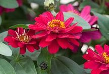 Profusion / The GO-TO Zinnia series for disease resistance and uniformity