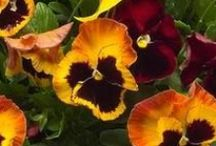 Pansy Portfolio / Something for everyone