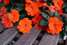 Unstoppable SunPatiens® Impatiens / Flowers that Flourish- Sun & Shade: Impatiens that outlast the elements. Bursts of color that are easy, disease resistant and time saving. They're ideal for garden beds or patio containers. Long lasting, spring through fall.