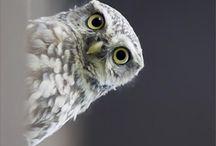 BUHOS (OWLS)