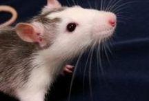 Lifestyle: Rat Children / Caring for mydarling rat children.