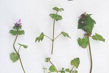 Wildkräuter | Heilkräuter / Wildkräuter und Heilkräuter Rezepte und Anwendungen