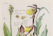 Botanische Illustrationen / Botanische Illustrationen, Vintage Blumenbilder, Blumenbilder, Bestimmungsbilder, botanical Illustrations