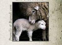 ...... Moutons ... Biquettes ....