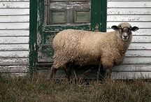 Bah bah Black sheep...