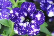 Petunia 'Night Sky' / Petunia 'Night Sky'