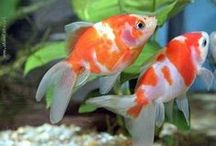 Fishies in the Tank / Color specimens of common aquarium pets / by Random Interests Boards