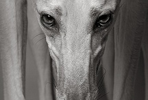 Beautiful Greyhounds