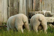 Sheeps ┆ Alpacas ┆ Llamas / by Spérantia S