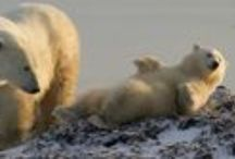 Polar Bears / Arctic Kingdom offers more trips to see polar bears at different times of the year and in different places than any other polar travel specialist!