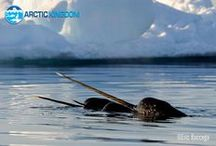 Narwhals - the inspiration for tales about unicorns / An Arctic dwelling whale that can be seen nowhere else.