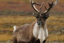 Caribou / The Autumn migration is one of the natural wonders of the world.