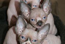 Sphynxes