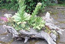 pozsgások uszadékfán, succulents in drifwood / pozsgások uszadékfán, succulents in drifwood