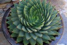pozsgás növények, succulent plants / pozsgás növények, succulent plants