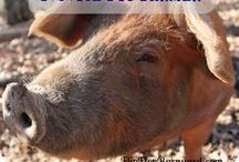 HBN: Livestock on the Homestead / A moo-moo here and a baa-baa there! Goats, cows and sheep are everywhere! All pins are from Homestead Bloggers Network members only. To apply for The Network, click here: http://bit.ly/HBNapplication