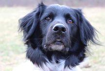 Dog,Friese Stabij, Stabyhoun, liefste hond ooit / Friese Stabij