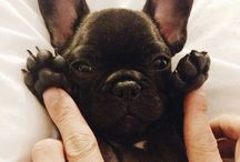 Cutest animals / 80% French bulldogs... and the other animals