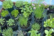Herbs and Veggies / when I have my courtyard, I will grow these