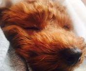 わんちゃん / かわいい犬のボード カバーは ララちゃん