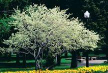 ARBRES PRINTANIERS / Arbres & arbustes d'intérêt printanier