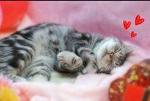 chats / Viens, mon beau chat, sur mon coeur amoureux ; Retiens les griffes de ta patte, Et laisse-moi plonger dans tes beaux yeux, Mêlés de métal et d'agate.  Lorsque mes doigts caressent à loisir Ta tête et ton dos élastique,(...)  Charles Baudelaire