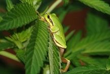 Animals and insects on marijuana