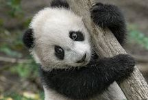 Panda Pan / Cute Animal