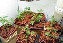 I love Hydroponic Marijuana Growing Indoors / Hydroponics systems for marijuana growers have been around for a long time. Over time, numerous kinds of systems have evolved, allowing you to choose the perfect hydro system for your own lifestyle and growing preferences.