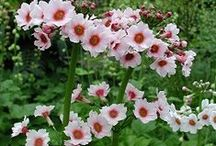 Primula / Esikoita / Esikot, kevään ensimmäisiä väriläiskiä.