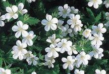 White Garden/ Valkoista puutarhaan
