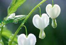 White in to the garden/ Valkoista puutarhaan / Valkoiset kukat ovat niin kauniita ja puhtaan raikkaita!