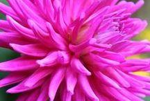 Pink dahlia/ Pinkkejä dahlioita / Pink dahlias are sweet !