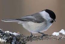 Birds in Finland / Suomen linnut / The most common birds in Finish nature.