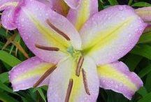 Lilies/ Liljat / Aasialaisia värililjoja. Asiatic Lily.