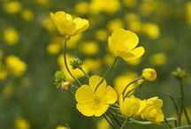 Meadow buttercup/ Niittyleinikki