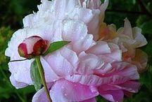 Pink peonies / So beautiful!