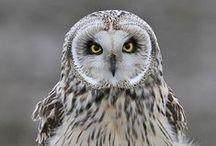 Owls in Nature/ Pöllöt luonnossa