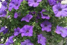 Betunias /Betuniat / Most beautiful colours of Betunias