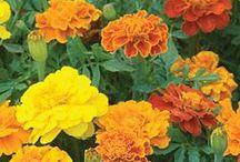 Marigolds/ Tagets/ Samettikukka / Marigolds are naturel mosquite repellers and beutiful in vegetable garden too.