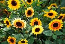 """Sunflowers/ Auringonkukkia / Keep your face to the sunshine and you cannot see the shadows. It's what the sunflowers do."""" ― Helen Keller"""