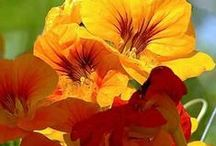 Nasturtiums/ Tropaeolum majus / Krassit / This beutiful flower is not only grogerous, but it is also good plant to tempt butterflyes.
