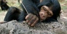 Chimpanzee behavior